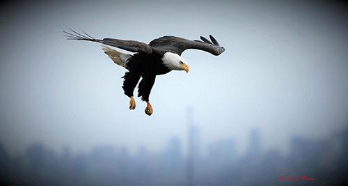 Western Washington Eagle